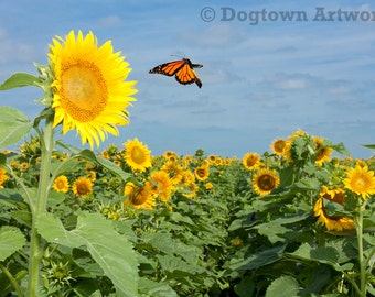 Monarch and Sunflowers, 11 X 14-inch photograph of monarch butterfly flying in a field of sunflowers
