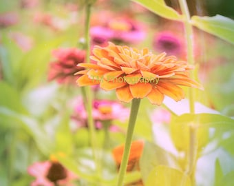 Zinnia - Old Fashioned Zinnia - Flower - Colorful Zinnias - Plant - Garden - Fine Art Photography