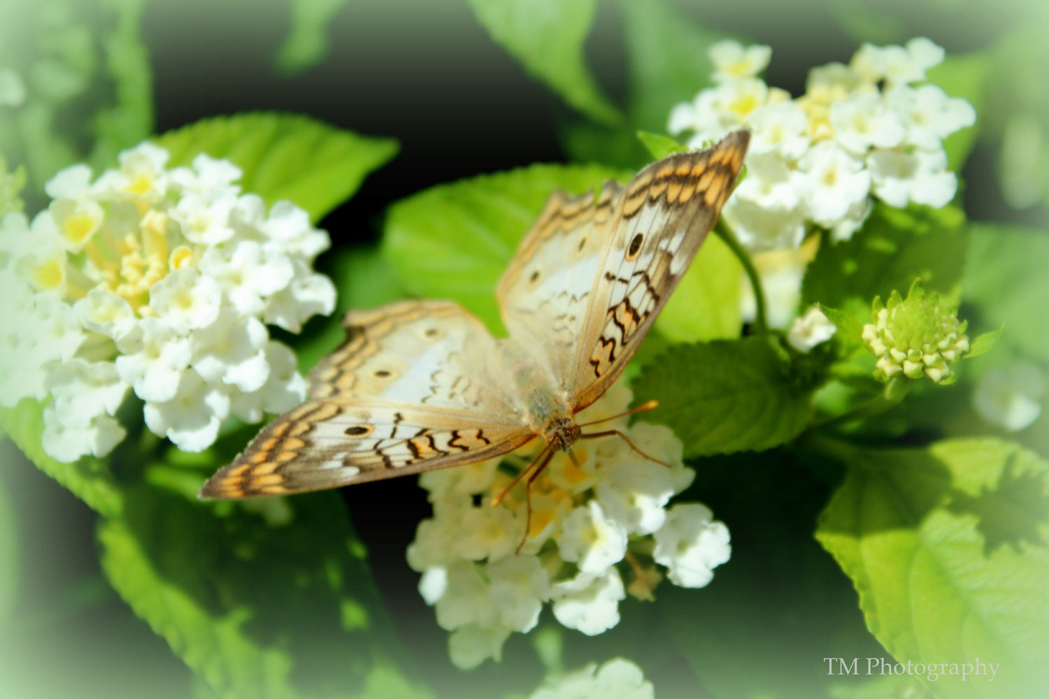 Flower Photography Print White Flowers Butterfly Etsy