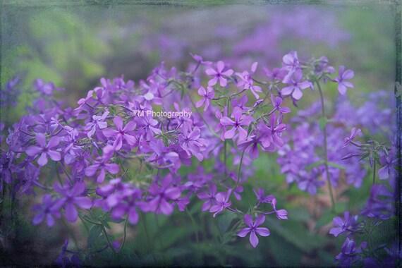Phlox Sweet William Woodland Phlox Wildflower Etsy