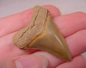 1-5/8 inch Fossil MEGALODON Shark Tooth Teeth for JEWELRY craft Nice specimen S229-C