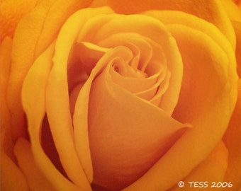 Yellow Rose Photo -  Rose Photography - Botanical - Nature - Mothers Day - Friendship - Garden Mothers Day - Photography Prints