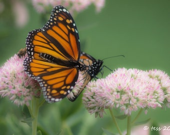 Photography - Butterfly Photography Print  -  Butterfly Photo - Monarch Butterfly Photo - Nature - Photography Prints