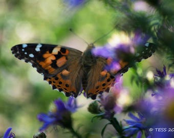 Photography - Butterfly Photography Print  - Butterfly Print  -  Painted Lady  Butterfly Photo - Nature - Photography Prints