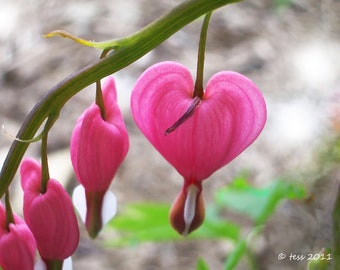 Photography - Bleeding Heart Photo - Bleeding Heart Print -  Flower Photography  - Nature - Pink Heart - Greeting Card - Photography Prints