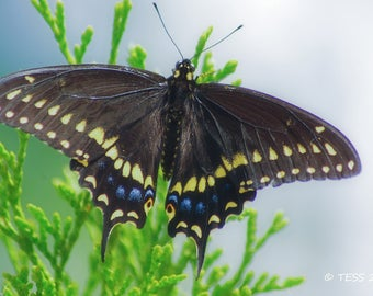 Butterfly Photo Print Or Photography Greeting Card - Swallowtail Butterfly Photo - Butterfly Greeting Card - Photography Prints