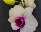 Orchid seedling dendrobium quot Hidden Money quot live plant