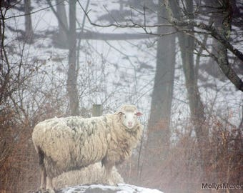 Woolly Sheep in Winter Photograph, Woodland Farm Photo Print, Country Animal Art