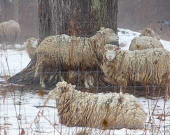 Sheep Photography, Winter Woolly Lamb Print, Farmhouse Home Decor, Country Animal Art
