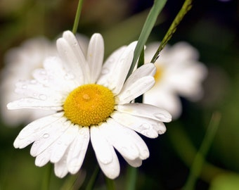 Flower photography, daisies, botanical print, spring, garden, nature, blooms, blossoms, floral decor