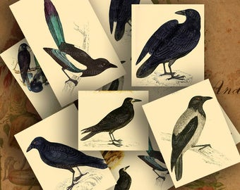 Digital Collage Sheet Black Birds, Crows, Rooks, Magpies, Images, Nature Printable Download