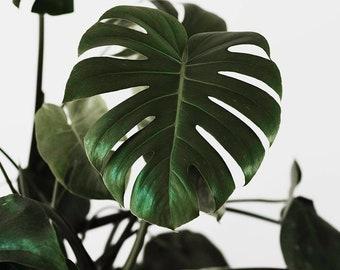 Fine Art Photography, Monstera Print, Monstera Plant Photography, Print, Leaf Print, Green, Photography Art, Gallery Wall Print, Modern