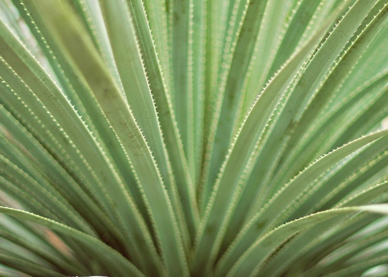 Nature Photography Abstract Photography Still Life Agave image 0