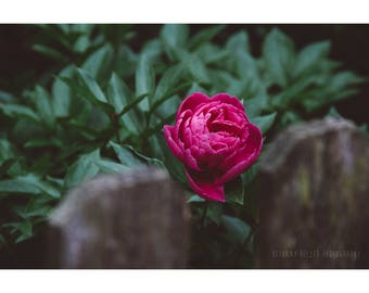 Peony Photography, Nature Photography, Botanical Print, Pink Peony, Flower Photography, Floral Print, Pink Flower, Pink and Green Decor, Art