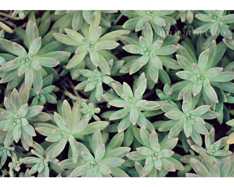 Succulent Photography Nature Photography Green and Pink image 0