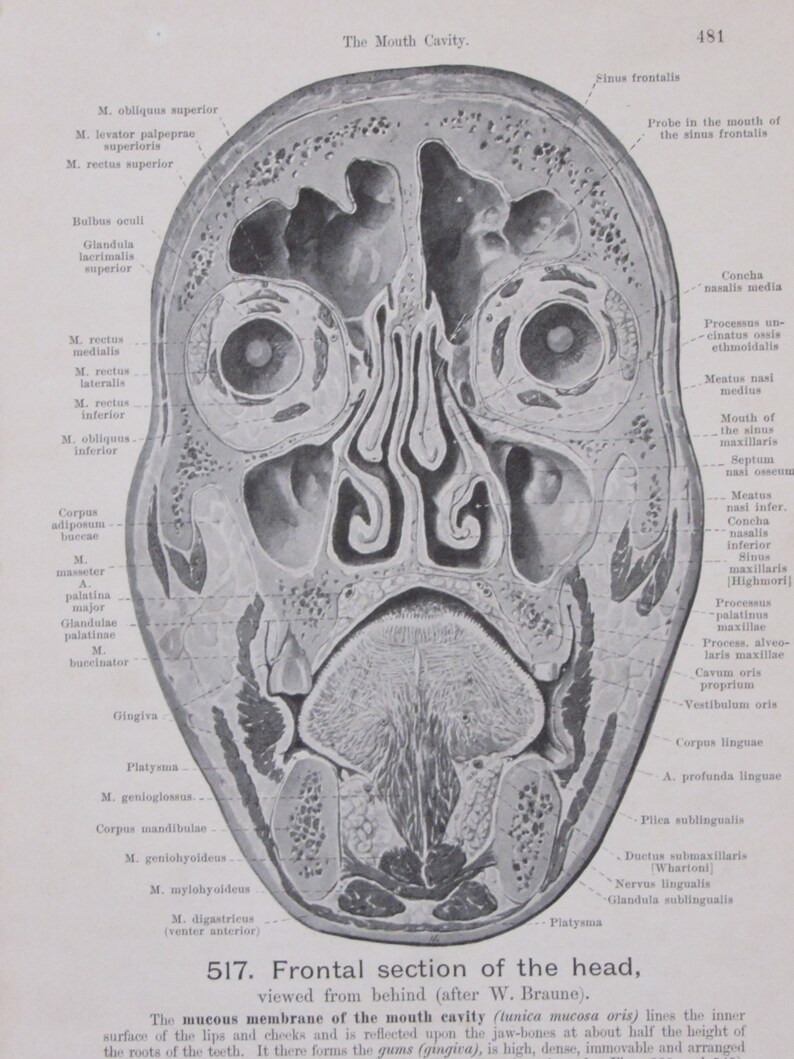 1903 Bookplate- Human Anatomy-Frontal Section of the Head/Permanent Teeth,  Right Side--2 Sided Book Page