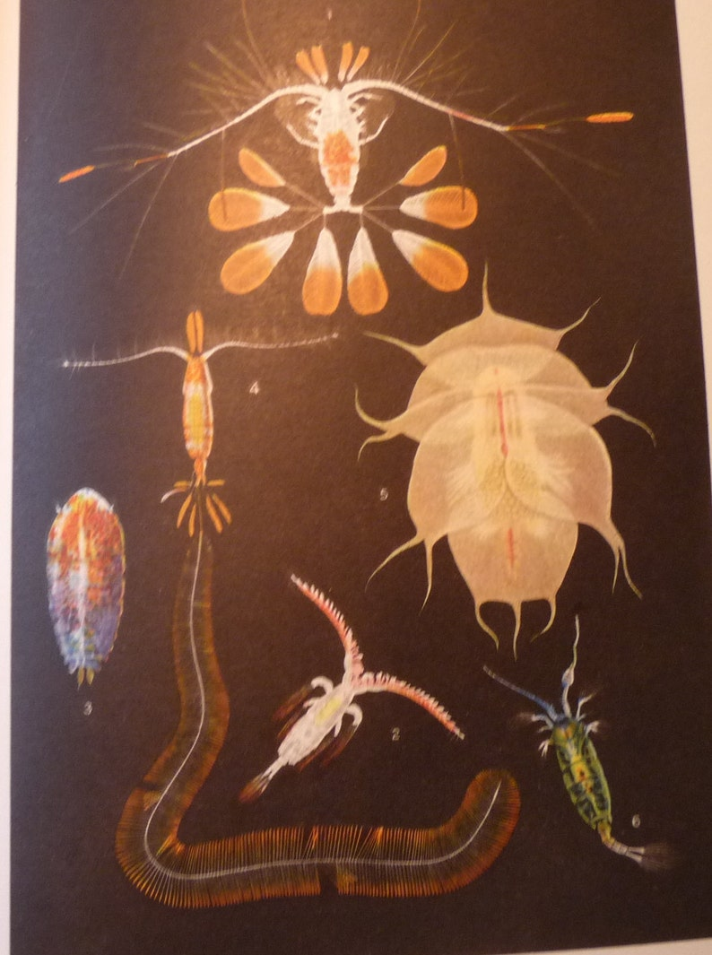 print or matted 8 by 10 in frame marine life scientist Crustaceans ocean nautical Shell Fish color lithograph original 1934