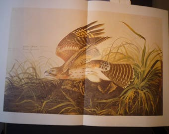 Red Shouldered Hawk - Audubon Color Plate from 1822 painting - for birders - nature lovers double length 13 by 20 Winter Hawk New Orleans