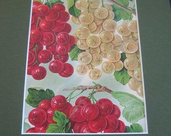 Antique Botanical Berries Print Lithograph Red Currants White  Matted 1920's Nursery Catalog