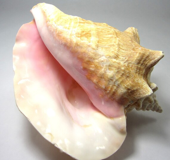 beach decor conch seashells nautical decor giant pink conch etsy