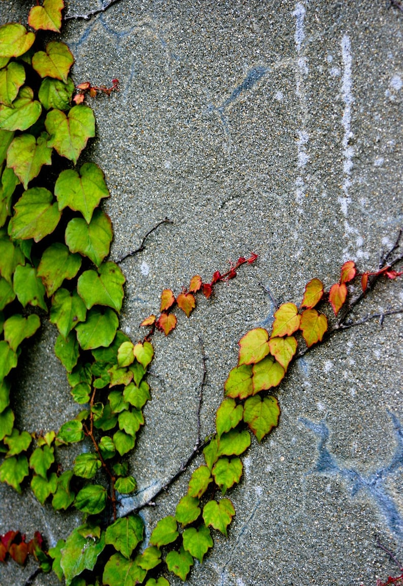 Photograph Green Autumn Climbing Ivy Red Yellow Orange Accent image 0