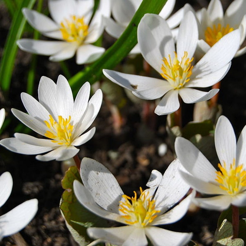 20 bloodroot root systems Sanguinaria canadensis image 0