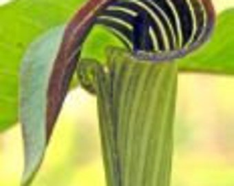5 jack in the pulpit bulbs, Arisaema triphyllum
