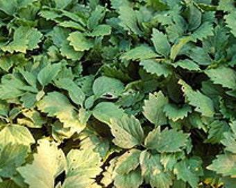 12 Allegheny Spurge ,Pachysandra procumbens