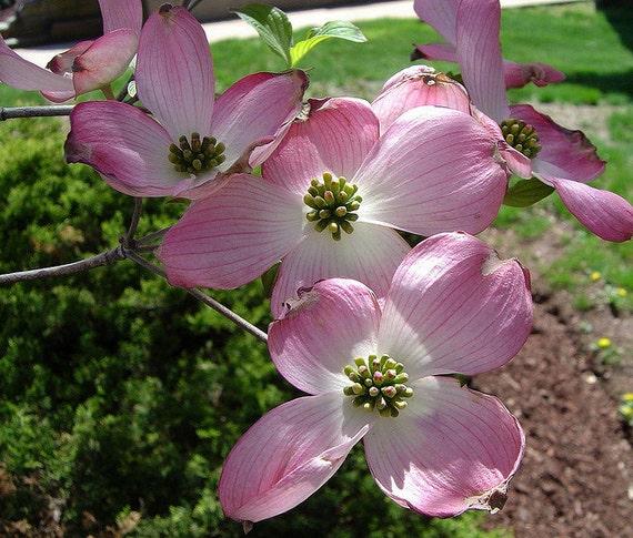 1 pink dogwood seedling etsy image 0 mightylinksfo