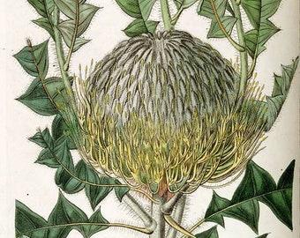 Instant Download Banksia Speciosa Ornate  You Print Digital Image