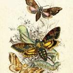 Digital Image Deaths Head Moth Instant Download You Print Digital Image 300 DPI