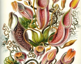 Instant Download Haeckel Nepenthaceae Tropical Pitcher Plants Monkey Cups, Carnivorous Plant You Print Digital Images