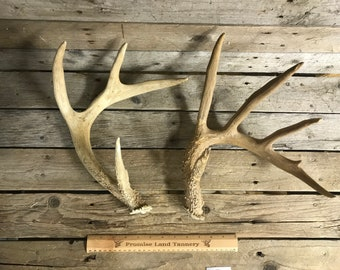 Lot No 190206-T Average Matched Pair of Whitetail Deer Antlers