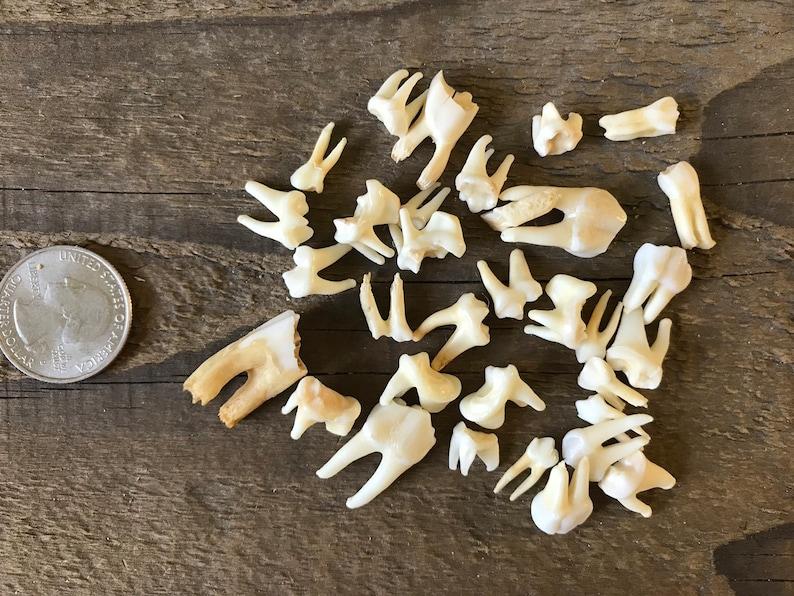30+ Pieces 190601-H Lot No Assorted Teeth Real Animal Teeth