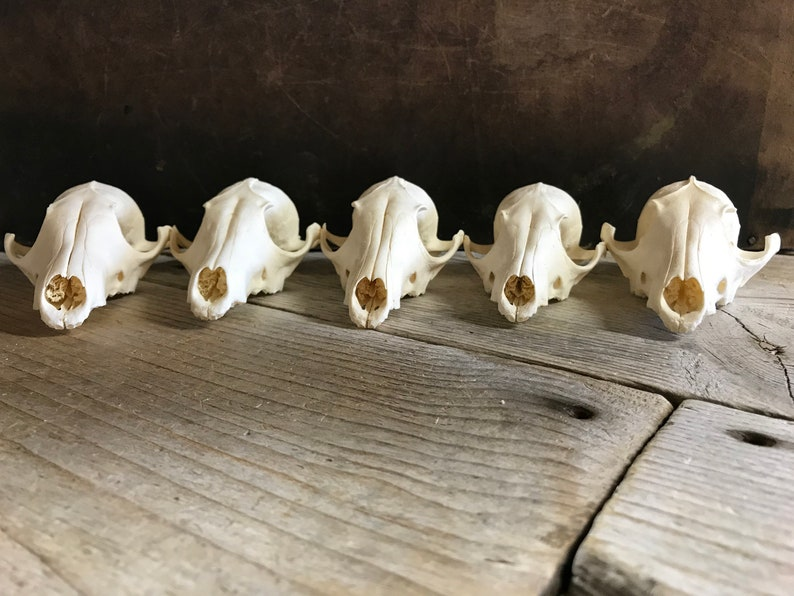190616-LL Cleaned Lot No Lot of 5 Red Fox Skulls Craft Quality