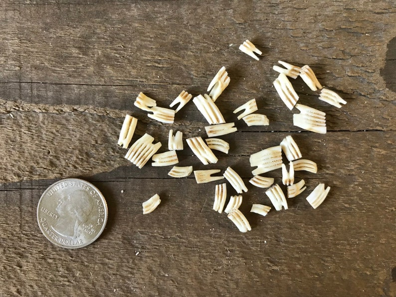 190601-P Assorted Teeth Real Animal Teeth 35+ Pieces Lot No