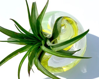 Handblown Glass Planter + Air Plant - Glass paperweight in white, yellow, and teal with live air plant