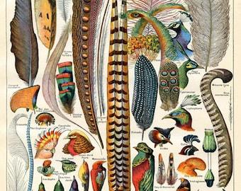 Digital Download - Bird Feather Art - Natural History Art - Woodland Antique  - Scientific Illustration Vintage Art