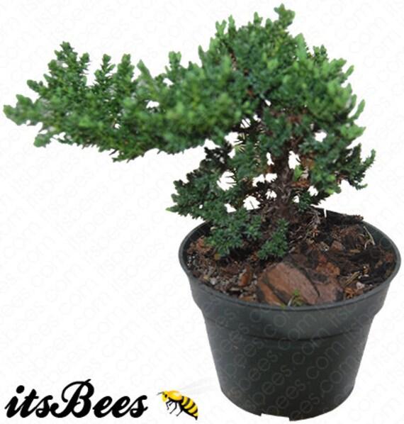 Japanese Dwarf Juniper Pre Bonsai Juniperus Procumbens Etsy