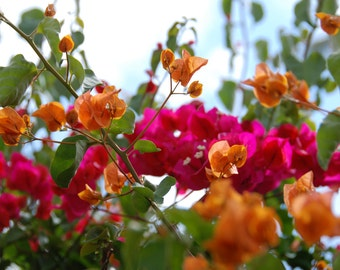 Bougainvillea, Magenta Flowers, Orange Flowers, Flower Photography, Tropical Flowers, Digital Download, Hawaii Photography
