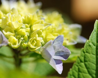 Blue Hydrangea, Summer Garden, Flower Photography, Digital Download, Printable Art, Blue Flowers, Dreamy Photography, Do It Yourself Art