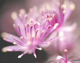 Pink Flower Photo, Digital Macro Photography, Dreamy Photo, Blurry Photo, Do It Yourself Printable Art, IPhone Wallpaper - Into Clarity