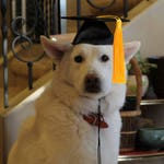 Graduation Cap for dogs and cats (your choice of tassel color gold-red-green-blue-purple) - Dog Graduation Hat