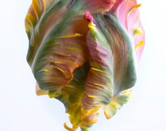 Flower Photography - Tulip Botanical Photograph, Floral Still Life Photography, Home Decor, Large Wall Art