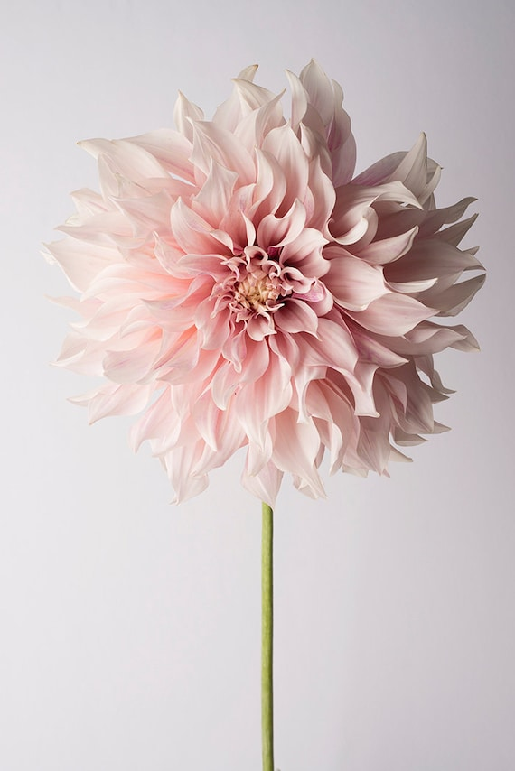 Flower Photography Floral Still Life Photography Pink Etsy