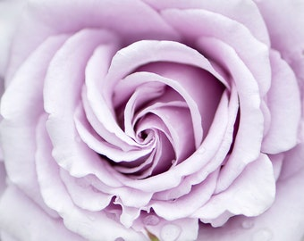 Flower Photography - Lavender Rose Fine Art Photograph, Floral Still Life Photography, Home Decor, Large Wall Art