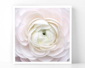 Paris Photography - Pale Ranunculus, 5x5 Paris Fine Art Photograph, French Home Decor, Wall Art, Gallery Wall