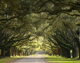 Live Oaks2- Wormsloe Historic Site, Savannah, GA- 20x30 stretched canvas