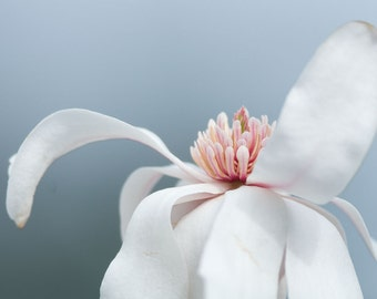 Magnolia Flower Photograph No. 11 -- Limited editions in various sizes by Hazel Berger