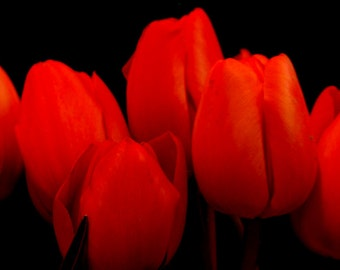 Tulip Photograph Flower Photography Red Tulips Spring Print Elegant Feminine Black Background Fine Art Print nat4